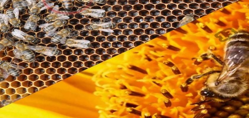 Bal Arısı ile İlgili İlginç Bilgiler